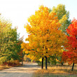 Autumn maple trees — Stock Photo #6532916