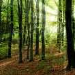 Forest and sun beams — Stock Photo