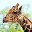 Stock Photo: Giraffe portrait closeup