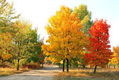 Herfst maple bomen — Stockfoto