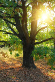 Oak tree and sun rays — Stock Photo