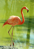 Flamingo in water — Stock Photo