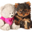 Yorkshire terrier pappy with teddy bear - Stock Photo