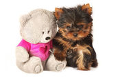 Yorkshire terrier pappy with teddy bear — Stock Photo
