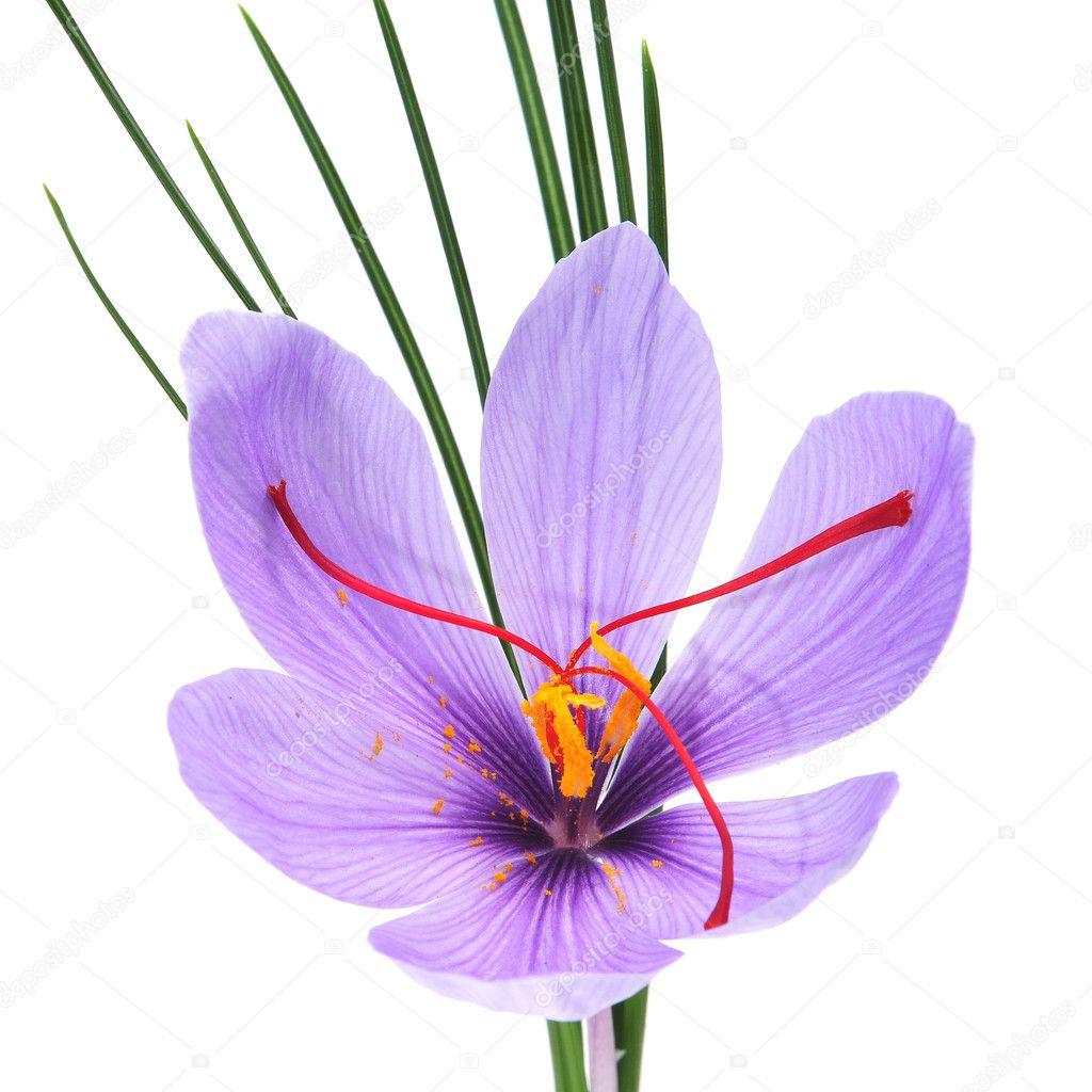 Saffron flower — Stock © nito103