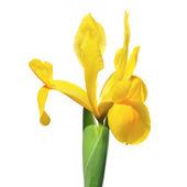 Fiore di iris spagnolo — Foto Stock