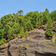 Pine grove in Teide National Park, Tenerife, Canary Islands, Spa - Stock Photo