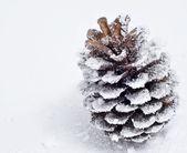 Pine cone on the snow — Stock Photo