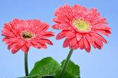 Gerbera daisies — Stock Photo