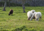 One black and four white sheep separated — Stock Photo