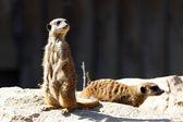 Standing meerkat — Stock Photo