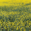 Rape field — Stock Photo #5459851