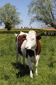 Vaca rural — Foto de Stock