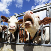 Cow heads square — Stock Photo