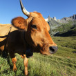 Head of mountain cow - Photo