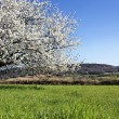 Horizontal white tree — Stockfoto