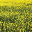 Vertical rape field — Stock Photo