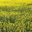 Stock Photo: Vertical rape field