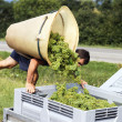 grape harvesting — Stock Photo