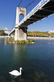 Cisne y puente — Foto de Stock