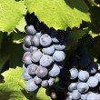 Stock Photo: Grape-vine