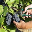Grape harvesting — Stock Photo #6559812