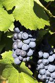 Grape-vine — Stock Photo