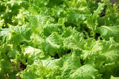 Fresh lettuce in garden — Stock Photo