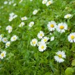 Stock Photo: Chamomile flowers on green field