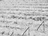 Grapevine vitis — Stock Photo