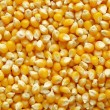Maize corn — Photo
