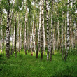 Birch trees view — Stock Photo