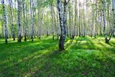 Birch trees in summer — Stock Photo
