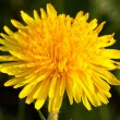 Single yellow dandelion closeup — Stock Photo