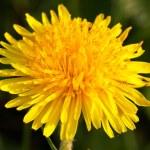 Single yellow dandelion closeup — Stock Photo #5875700