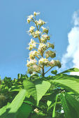 The white flowers of horse-chestnut against blue sky — Stock Photo