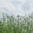 Dark green ears of grass against overcast sky - Stock Photo