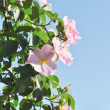 The pink flowers of dog-rose against light blue sky — Stock Photo #5859195
