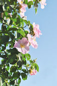 The pink flowers of dog-rose against light blue sky — Stock Photo