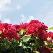 The red flowers of rose against light blue sky with white clouds — Stock Photo #5897707