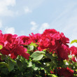 The red flowers of rose against light blue sky with white clouds - Stock Photo