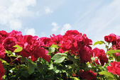 The red flowers of rose against light blue sky with white clouds — Stock Photo