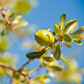 Argan nut on a branch — Stock Photo