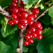 Ripening red currant. Selective focus, shallow DOF. Green backgr — Stock Photo