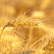 Yellow wheat on a grain field in summer just before harvest — Stock Photo #6098340