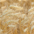 Yellow wheat on a grain field in summer just before harvest — Stock Photo #6098378