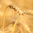 Yellow wheat on a grain field in summer just before harvest — Stock Photo #6098414