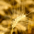 Yellow wheat on a grain field in summer just before harvest — Stock Photo #6098794