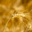 Yellow wheat on a grain field in summer just before harvest — Stock Photo #6099030