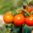 Red tomatos growing on a plant in the garden - Stock Photo